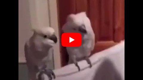 tanczaca-papuga