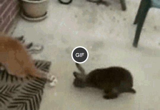 krolik-bzyka-kota